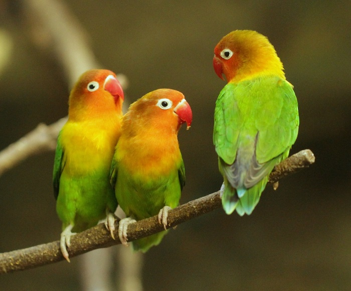 https: img.okeinfo.net content 2018 01 12 196 1844089 berkenalan-dengan-biji-ketapang-sf-komunitas-pencinta-burung-lovebird-eTl76vwdIh.jpg