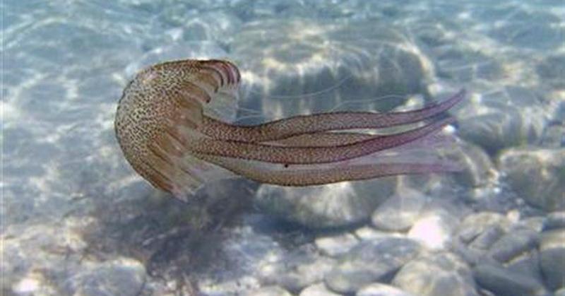 https: img.okeinfo.net content 2018 02 09 56 1857335 ubur-ubur-penyebab-utama-kematian-ikan-salmon-benarkah-bulhKydM3s.jpg