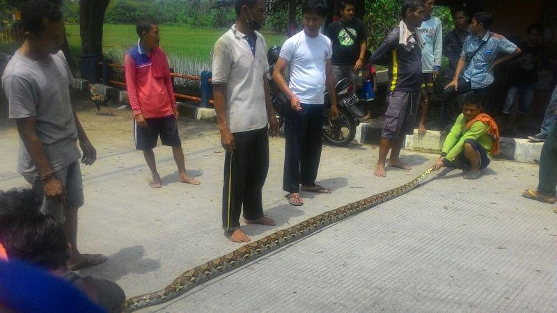 https: img.okeinfo.net content 2018 02 26 525 1864821 usai-hujan-deras-warga-dikejutkan-dengan-penemuan-ular-piton-sepanjang-4-meter-4357OS4AlT.jpg