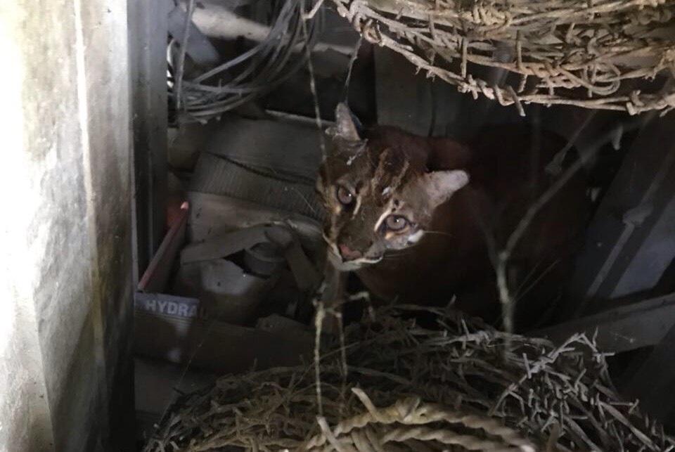 https: img.okeinfo.net content 2018 03 13 340 1872019 dikira-anak-harimau-kucing-emas-ini-bikin-heboh-warga-di-aceh-1YWLno3pet.jpg