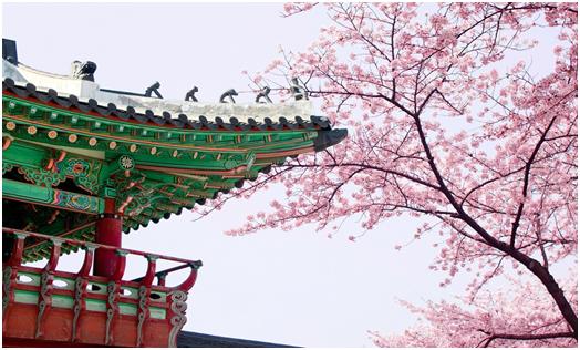 Unduh 710+ Gambar Bunga Sakura Di Korea HD Paling Keren