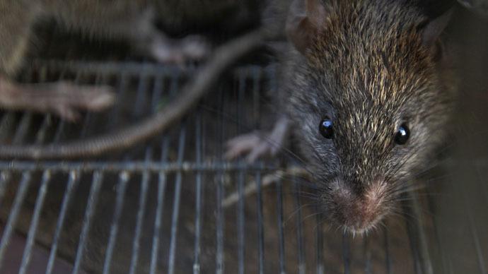 https: img.okeinfo.net content 2018 04 13 18 1886480 540-kilogram-ganja-hilang-polisi-salahkan-tikus-yang-kecanduan-7bfWJV60Is.jpg