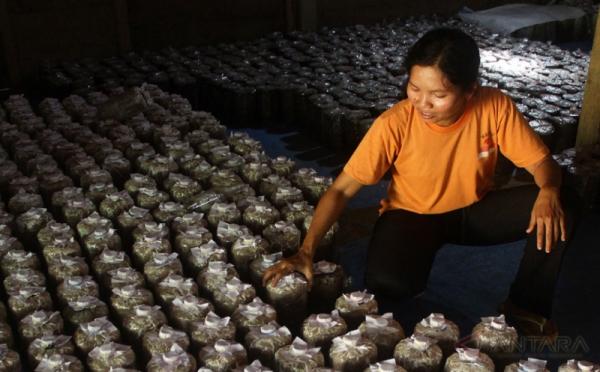 Bisnis Budidaya Jamur Tiram Langsung Balik Modal Ketika Panen