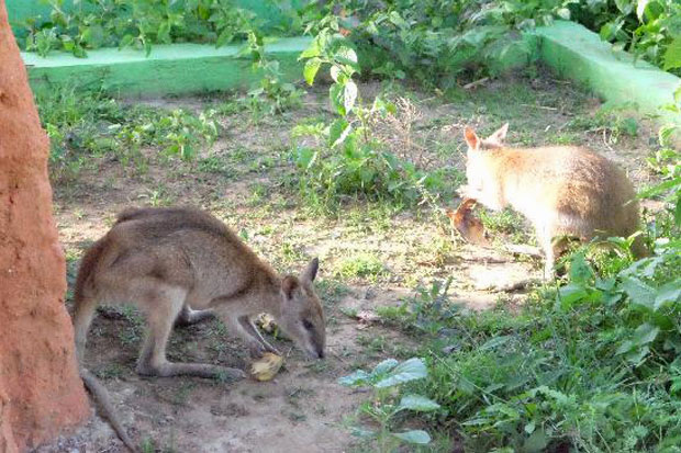 https: img.okeinfo.net content 2018 04 17 406 1887862 walabi-kanguru-mungil-dari-ujung-timur-indonesia-k5EahyoP2K.jpg