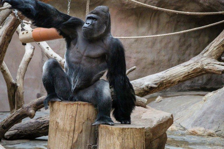 https: img.okeinfo.net content 2018 05 21 194 1900613 gorila-ini-mukanya-sangar-tapi-banci-kamera-foto-fotonya-viral-di-medsos-Z7H4tsYIX6.jpg