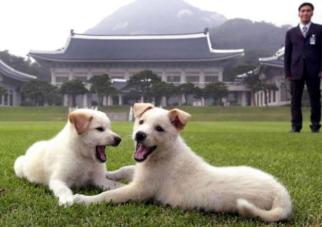 https: img.okeinfo.net content 2018 10 01 18 1957839 kim-jong-un-hadiahkan-sepasang-anjing-khas-korut-ke-presiden-korsel-bIEWCgh2b7.jpg