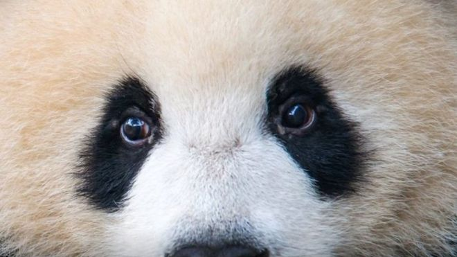 https: img.okeinfo.net content 2018 10 04 18 1959456 ibu-panda-ini-ditipu-agar-bayi-kembar-yang-dilahirkan-selamat-CKd2VX7dkj.jpg