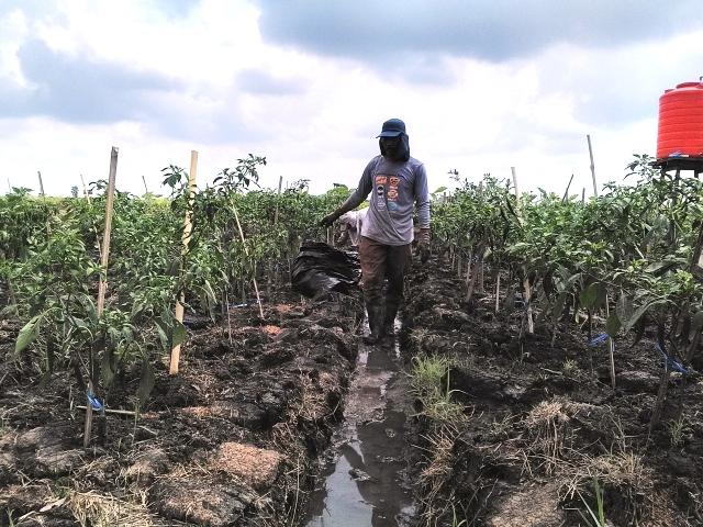 https: img.okeinfo.net content 2018 10 12 340 1963271 bagaimana-pertanian-kalsel-tetap-hidup-meski-dikelilingi-rawa-dan-tanah-kering-5EDMuBUia2.jpg