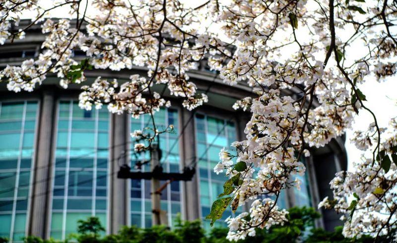 Surabaya Rasa Jepang Bertabur Bunga Tabebuya Yang Lagi Hits Di