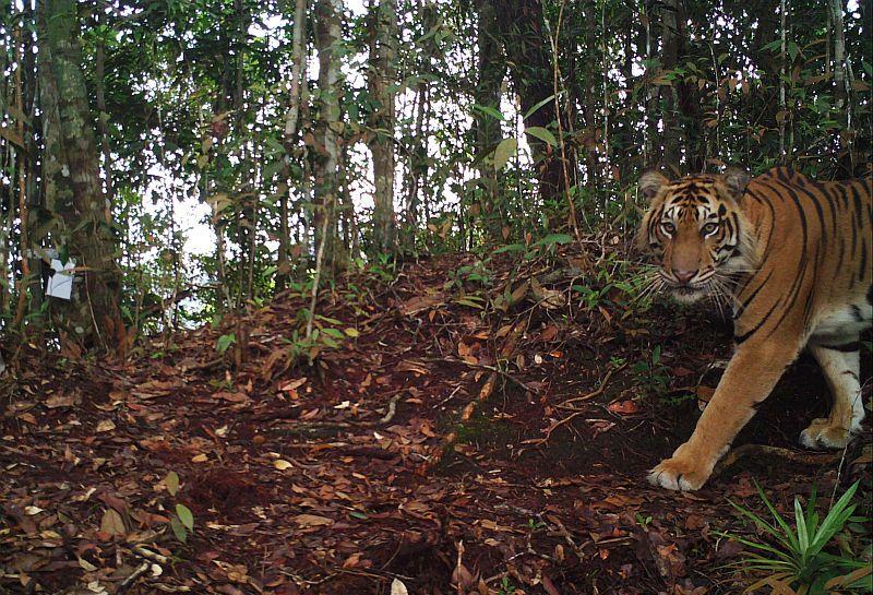 https: img.okeinfo.net content 2018 12 05 512 1987109 mencekam-2-harimau-kebun-binatang-semarang-lepas-dari-kandang-9LOwU6aorK.jpg