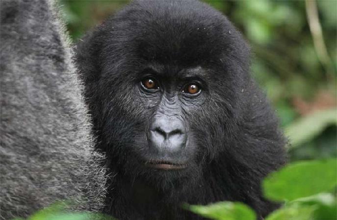 https: img.okeinfo.net content 2018 12 07 56 1988007 daur-ulang-ponsel-selamatkan-populasi-gorila-benarkah-UGmU7f03fR.jpg