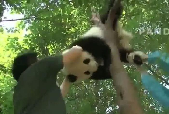 https: img.okeinfo.net content 2019 01 14 406 2004461 kasihan-panda-ini-tersangkut-di-pohon-hingga-harus-ditarik-tqs2sWS15b.jpg