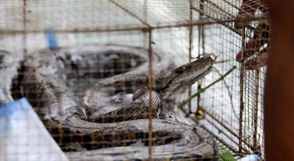 https: img.okeinfo.net content 2019 01 16 510 2005087 ular-piton-bermunculan-di-gunungkidul-melukai-beberapa-warga-ZwuCDBAZoe.jpg