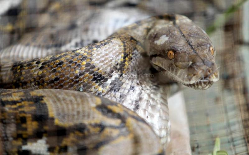 https: img.okeinfo.net content 2019 02 09 512 2015781 ular-piton-3-meter-ditangkap-di-belakang-rumah-bupati-boyolali-PX4Hd2A6uP.jpg