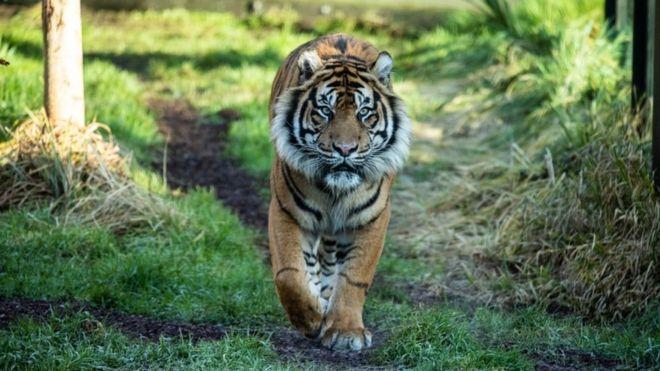 https: img.okeinfo.net content 2019 02 10 18 2015911 melati-si-harimau-sumatera-mati-di-kebun-binatang-london-saat-dijodohkan-dengan-pejantan-wa69vXIVoT.jpg