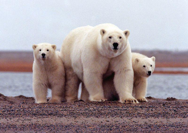 https: img.okeinfo.net content 2019 02 11 18 2016279 kepulauan-terpencil-rusia-umumkan-keadaan-darurat-karena-invasi-beruang-kutub-1W8Pb8puiy.jpg