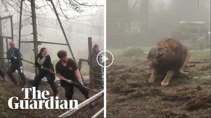 https: img.okeinfo.net content 2019 02 25 406 2022685 gelar-atraksi-tarik-tambang-dengan-singa-kebun-binatang-ini-dikecam-ODPGomQGzK.jpg