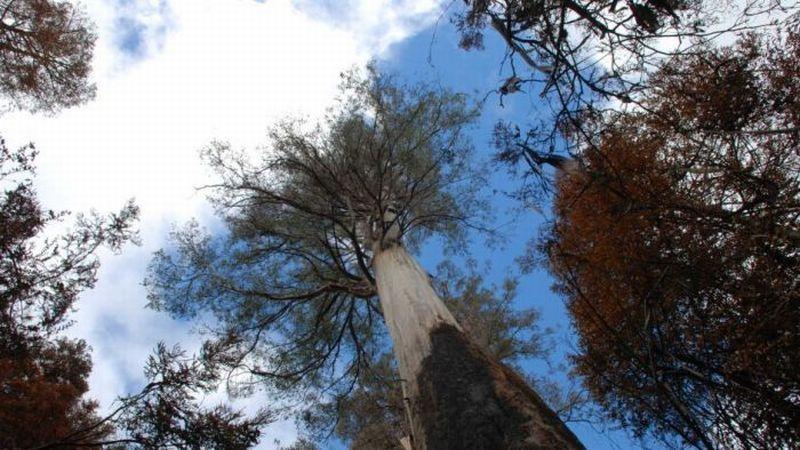 https: img.okeinfo.net content 2019 02 27 18 2023336 diterjang-kebakaran-hutan-pohon-tertinggi-di-australia-tetap-kokoh-epjTuxppVo.jpg