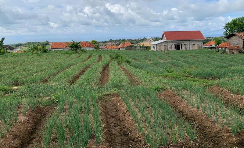 kebun bawang merah