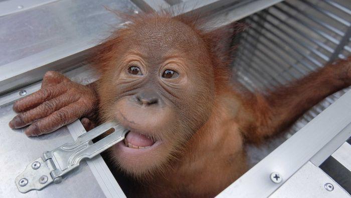 https: img.okeinfo.net content 2019 03 25 244 2034429 pria-rusia-ditangkap-di-bali-karena-coba-selundupkan-bayi-orangutan-lZ25nndn5f.jpg