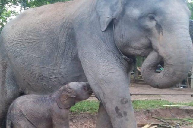 https: img.okeinfo.net content 2019 03 28 340 2036128 bayi-gajah-jantan-kembali-lahir-di-taman-nasional-way-kambas-hsCP1havB5.jpg