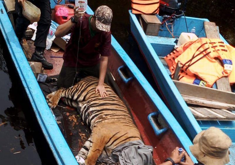 https: img.okeinfo.net content 2019 03 31 340 2037464 menteri-lhk-harimau-yang-terkena-jerat-ngambek-di-pusat-rehabilitasi-jgFvwv64wJ.jpg