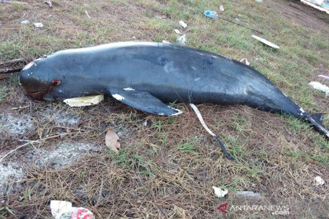 https: img.okeinfo.net content 2019 04 06 340 2039896 lumba-lumba-tak-bersirip-ditemukan-mati-hampir-membusuk-di-riau-KFajVSJTeg.jpeg