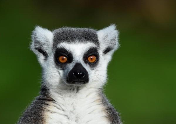 https: img.okeinfo.net content 2019 04 18 406 2045006 hotel-ini-tawarkan-spa-dengan-lemur-tertarik-mencobanya-8YkygQHieW.jpg