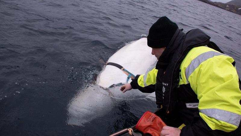 https: img.okeinfo.net content 2019 04 30 18 2049714 seekor-paus-putih-mata-mata-dari-rusia-ditemukan-di-pantai-norwegia-CKkN6Fi4uM.jpg
