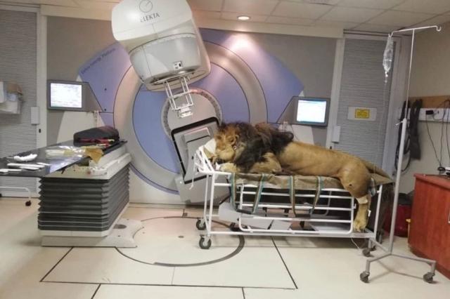 https: img.okeinfo.net content 2019 05 10 18 2054184 menderita-kanker-kulit-singa-jantan-ini-jalani-terapi-radiologi-di-klinik-manusia-GYTk8zkiK9.jpg