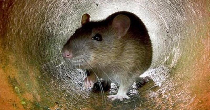 https: img.okeinfo.net content 2019 05 12 510 2054716 penyakit-akibat-kencing-tikus-merebak-di-sleman-1-orang-meninggal-9mngG033e5.jpg