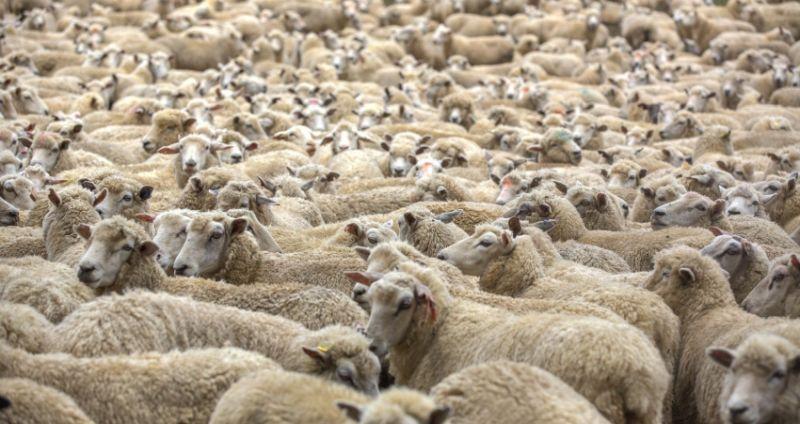 Lupa Tutup Pintu Rumah Orang Ini Disatroni Ratusan Domba Okezone