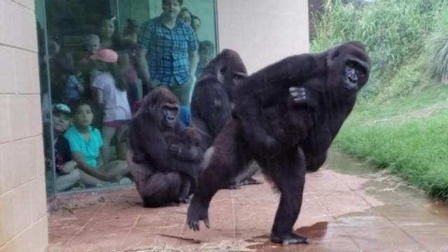 https: img.okeinfo.net content 2019 05 17 18 2057051 tingkah-lucu-gorila-menghindari-hujan-kontras-dengan-wajahnya-yang-sangar-qCZOqo1ZtP.jpg