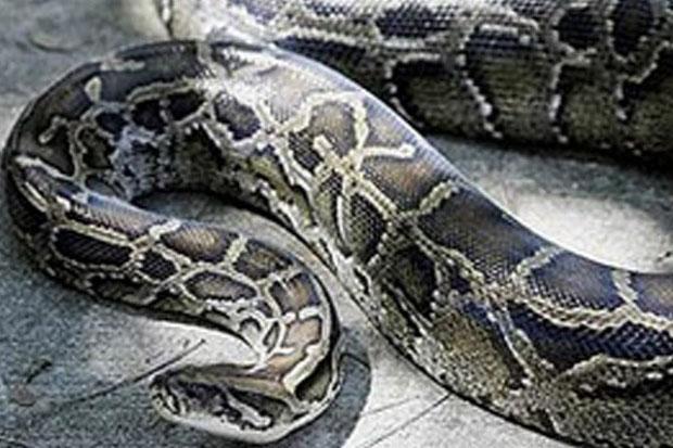 https: img.okeinfo.net content 2019 06 03 340 2063292 kronologi-perempuan-paruh-baya-tewas-diterkam-ular-piton-di-buton-rqFVs0sjj0.jpg