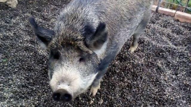 https: img.okeinfo.net content 2019 06 11 18 2065424 babi-seberat-300-kg-ini-dilarang-jalan-jalan-di-tanah-milik-pemerintah-j9VRNa4B2R.jpg