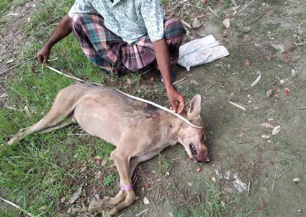 https: img.okeinfo.net content 2019 06 17 18 2067480 pertama-kali-muncul-di-bangladesh-sejak-1949-serigala-langka-mati-dipukuli-petani-fO5bkyLHdj.jpg