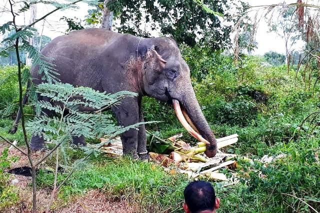 https: img.okeinfo.net content 2019 06 19 340 2068322 4-gajah-liar-berhasil-digiring-keluar-dari-permukiman-warga-HvQ6GaZW77.jpg