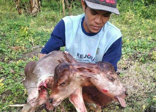 https: img.okeinfo.net content 2019 06 26 609 2070954 anak-sapi-berkepala-2-gegerkan-warga-bone-UwAhkI5yCO.JPG