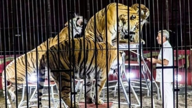 https: img.okeinfo.net content 2019 07 06 18 2075422 pelatih-sirkus-paling-terkenal-di-italia-tewas-diserang-4-harimau-saat-latihan-ZDdlBuC5f9.jpg