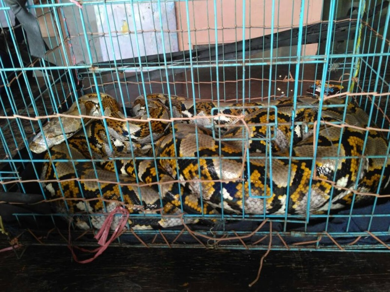 https: img.okeinfo.net content 2019 07 09 338 2076592 tiga-ular-sanca-hebohkan-warga-kepulauan-seribu-V9oAGCud0L.jpg