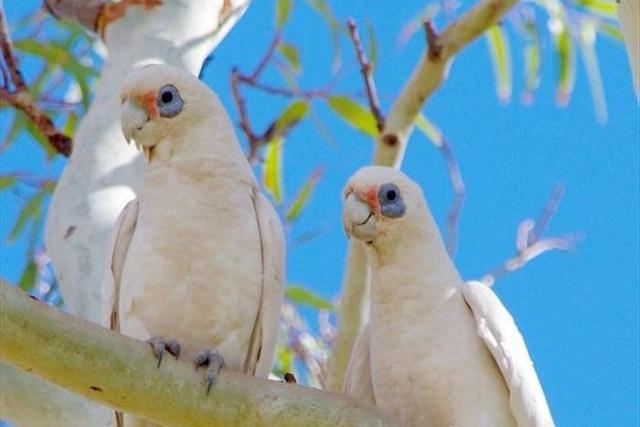 https: img.okeinfo.net content 2019 07 12 18 2078069 57-burung-yang-dilindungi-australia-mati-jatuh-dari-langit-GJqsNKFQVC.jpg