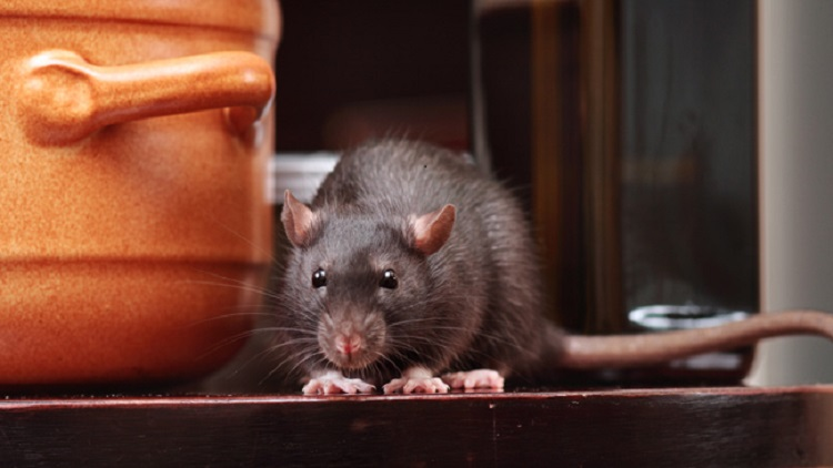 https: img.okeinfo.net content 2019 07 15 481 2078935 viral-video-tikus-makan-makanan-di-warteg-ini-bahaya-yang-mengintai-BIU8gIHJLK.jpg