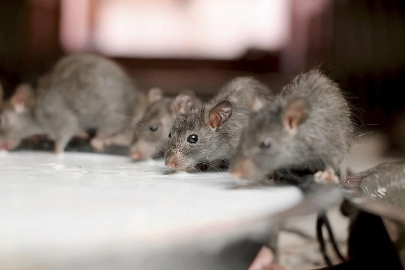 https: img.okeinfo.net content 2019 07 19 298 2081214 diklaim-lebih-sehat-1-liter-susu-tikus-dijual-rp276-juta-Lks6hQLFqq.jpg