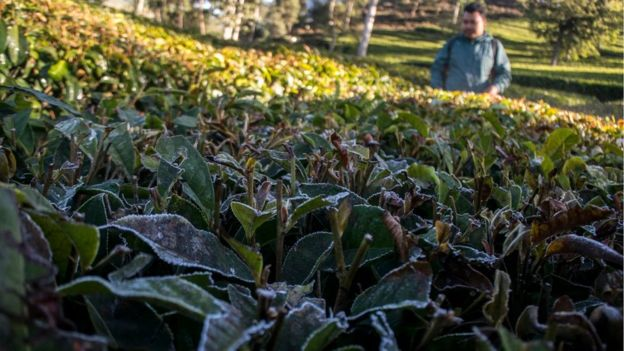 https: img.okeinfo.net content 2019 07 19 337 2080854 tanaman-rusak-akibat-suhu-dingin-ekstrem-petani-sebut-tahun-ini-lebih-parah-RttKkvJ8BC.jpg