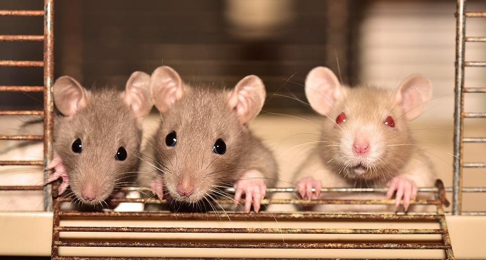 https: img.okeinfo.net content 2019 07 21 481 2081700 hati-hati-ini-4-penyakit-berbahaya-yang-disebabkan-oleh-tikus-RaW8Ybrohx.jpg