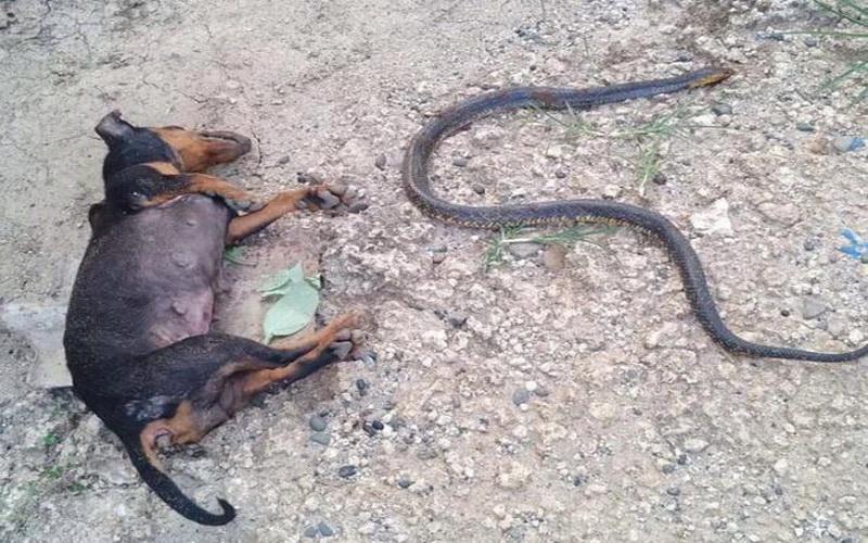 https: img.okeinfo.net content 2019 07 25 612 2083383 selamatkan-bayi-majikannya-anjing-ini-rela-mati-lawan-ular-kobra-KiV5O6bICn.JPG