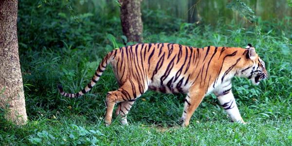 https: img.okeinfo.net content 2019 07 29 340 2085121 usai-diselamatkan-petugas-sepasang-harimau-sumatera-dilepasliarkan-9Ml3PICT0b.jpg