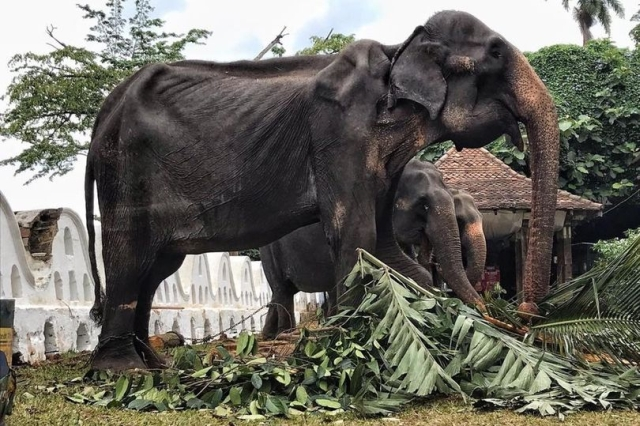 https: img.okeinfo.net content 2019 08 15 18 2092373 gajah-ceking-berusia-70-tahun-dipaksa-berparade-ikut-festival-di-sri-lanka-XB0jZVJgJV.jpg