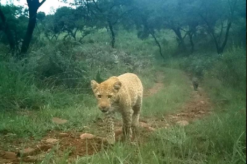 https: img.okeinfo.net content 2019 08 20 612 2094314 pertama-kalinya-macan-tutul-stoberi-tertangkap-kamera-di-alam-liar-PnEicnTY1d.jpg