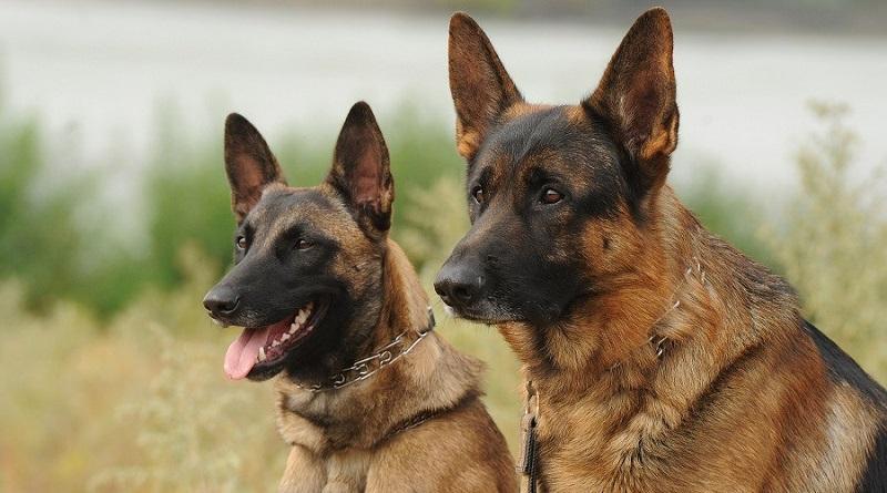 https: img.okeinfo.net content 2019 09 03 612 2100221 bima-aryo-beberkan-buasnya-anjing-belgian-malinois-sering-incar-kepala-dan-leher-GoyKTWcCGD.jpg